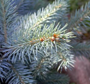 Come scegli l'albero di Natale?